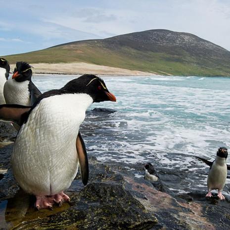 203 Southern Rockhopper--Up from Sea--Falkland Islands