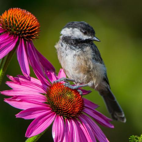 1503 Black-capped Chickadee--Garden