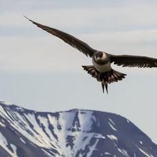 1930 Arctic Skua--Svalbard