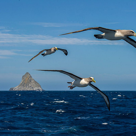 522 Chatham Albatross--Flight--Chatham Rock