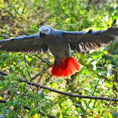 1207 African Gray Parrot--Flying--Uganda
