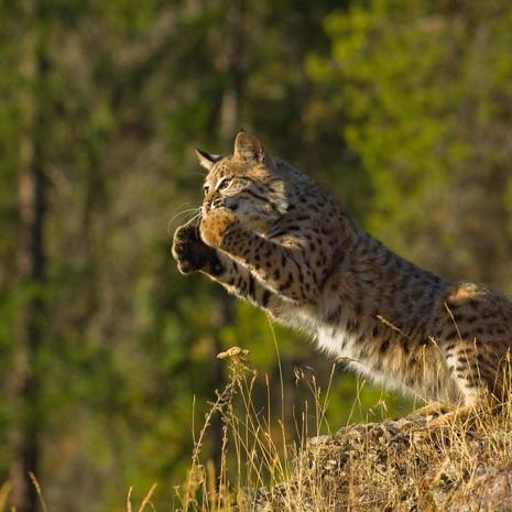 1402 Bobcat--Leaping--Montana