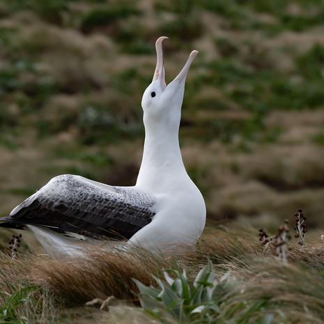 507 Southern Royal Albatross--Campbell Island--New Zealand--Sky Call