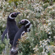404 Magellanic Penguins--Flowers--Isla Martillo Tierra del Fuego