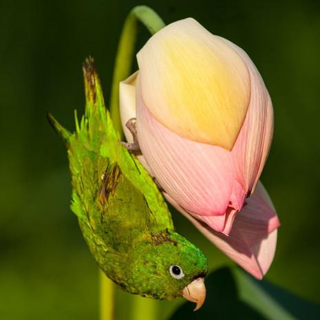 1213 Cobalt-winged Parakeet--On Lotus Flower--Guyana