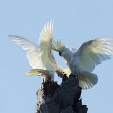 1203 Abbotti Cockatoo--Nest--Masakambing Island--Indonesia
