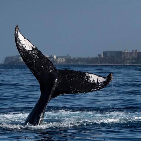 1809 Humpback Whale--Tail--Kaanapali--Maui