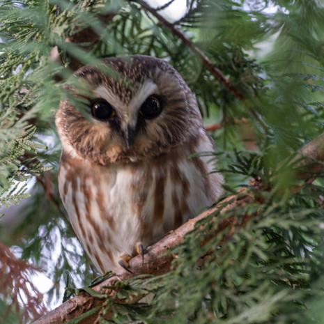 1414 Saw Whet Owl--North Cascade Mountains