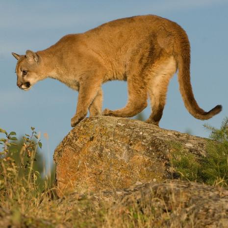 1407 Mountain Lion--Montana