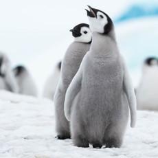 105 Emperor Penguins--BFFs--Snow Hill