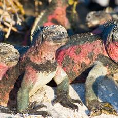 1013 Marine Iguanas--Three Red Iguanas--Española Island