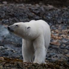 1903 Polar-Bear--Mother-Approaching--Svalbard