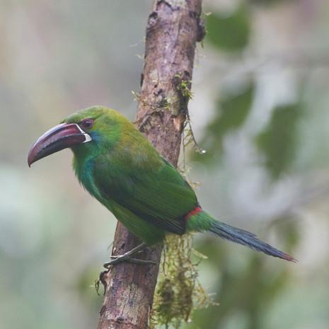 715 Emerald Toucanet--Andes Mountains--Ecuador