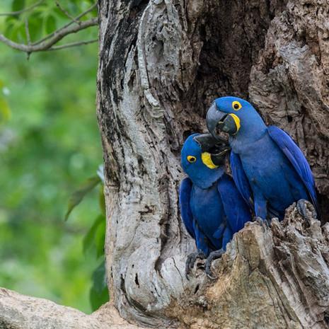 1200 Hyacinth Macaaws--Pair at Nest--Pantanal--Brazil