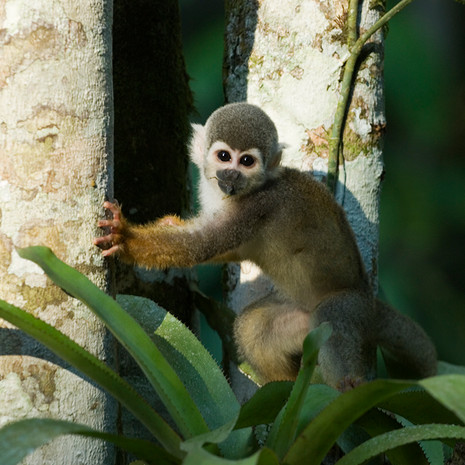 822 Squirrel Monkey--Amazon Basin--Ecuador
