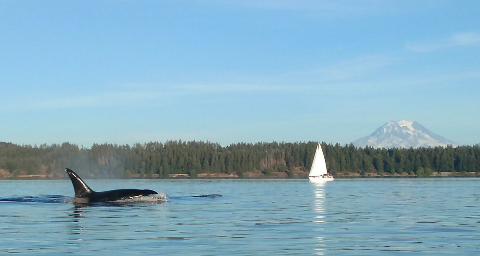 Orca Whale Sighting on a Sailing Tour