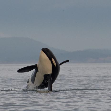 1410 Orca--Breach--San Juan Islands