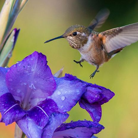 1508 Rufous Hummingbird--Immature--Soft Landing--Garden