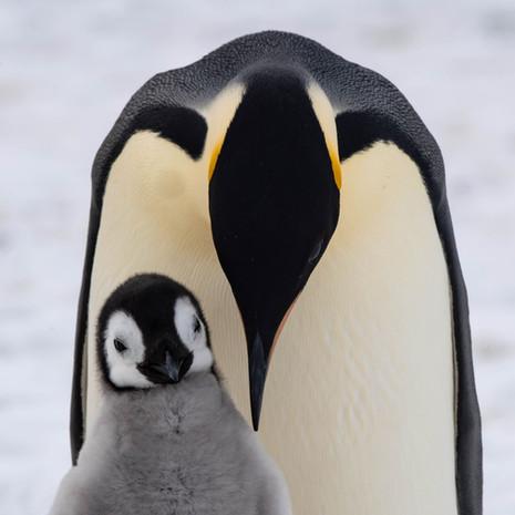 100 Emperor Penguins--1 Chick 1 Parent--Snow Hill