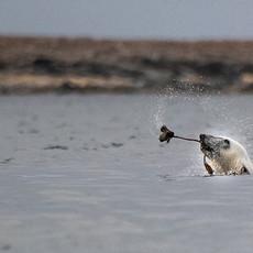 1909 Polar Bear--Juvenile Playing with Kelp--Svalbard