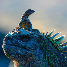 1014 Marine Igunana--Lava Lizard--Fernandina Island