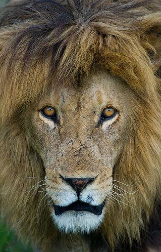 FAV-Lion--Male-Head-1.jpg