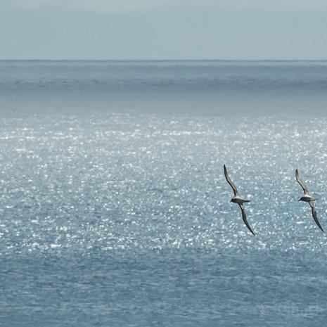 503 Light-mantled Sooty Albatross--Auckland Islands--Synchronized Flying