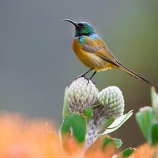 1133 Sunbird--Orange-chested--Protea Bloom--Kirstenbosch National Botanical Gardens--South Africa