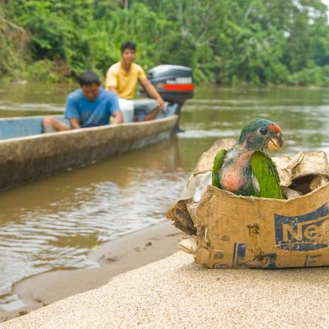 1210 Blue-head Parrot--Wildlife Trafficking--Amazon Basin--Ecuador
