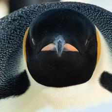103 Emperor Penguin--Face Close--Snow Hill
