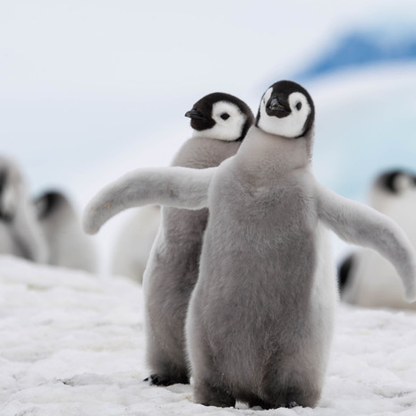 104 Emperor Penguins--BFFs--Snow Hill
