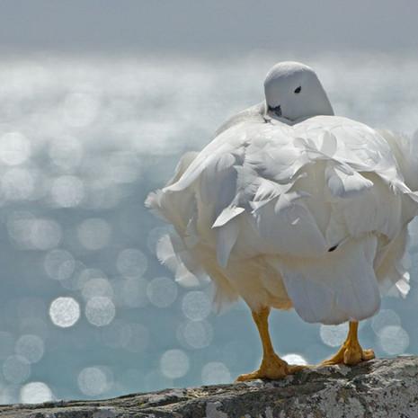 710 Kelp Goose--Male--Falkland Islands