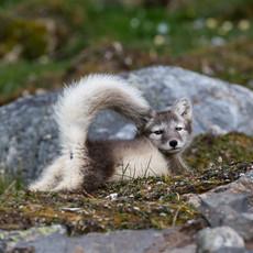 1920 Arctic Fox--Tail Up--Svalbard