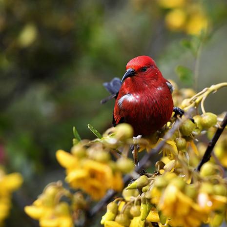 1818 Apapane--Feeding on Mamane--Hosmer Grove--Maui