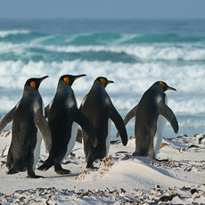 118 King Penguins--Four to Sea--Falklands