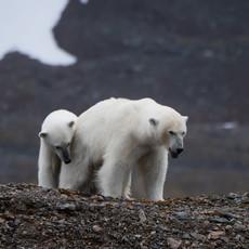 1904 Polar Bear--Mother and Son--Svalbard
