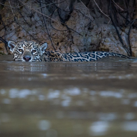 800 Jaguar--Eye of Predator--Pantanal Brazil