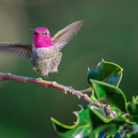 1502 Anna's Hummingbird--Male--Holly--Garden