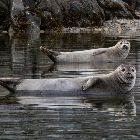 1922 Harbor Seals--Comical--Svalbard