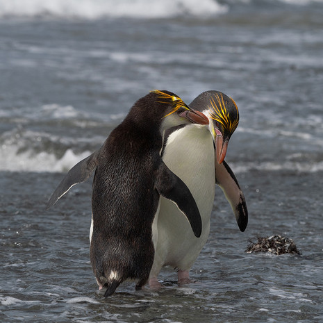 217 Royal Penguin --Sandy Bay