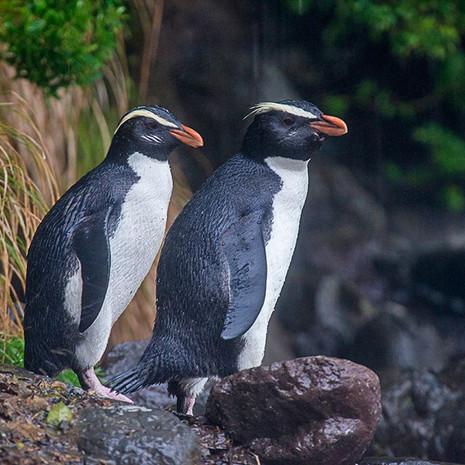 223 Fiordland Penguins--Tawaki--South Island New Zealand