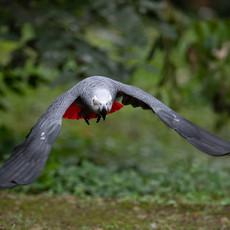 1205 African Gray Parrot--Flying--Uganda