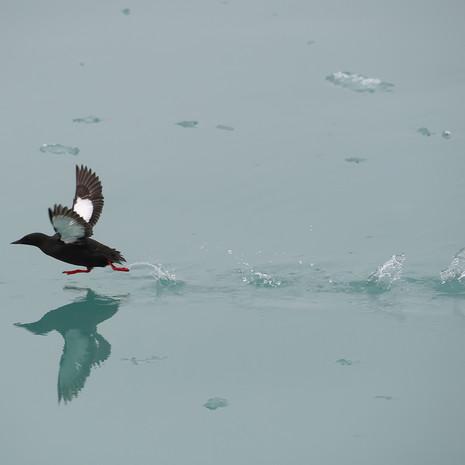 1927 Black Guillemot--Take-off--Svalbard