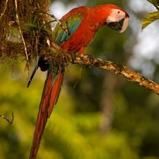 1219 Green-Winged Macaw--Jungle--Guyana