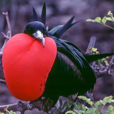 1010 Magnificent Frigatebird--Male--Genovesa Island