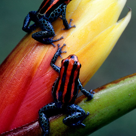 812 Jatun Saccha Poison Dart Frog--Tena--Endemic