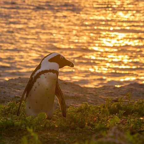 400 African Penguin--Boulder Beach Sunset--South Africa