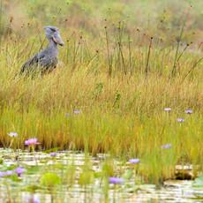 1132 Shoebill--Marsh Lilies--Uganda