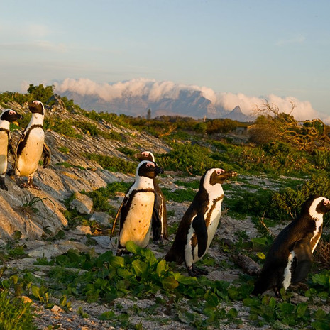 402 African Penguin--Table Mountain--South Africa