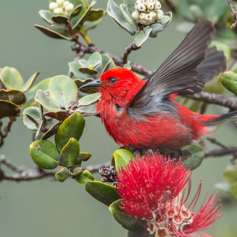 1803 Apapane--Endemic Species--Feeding on Ohia Bloom--Big Island--Hawaii